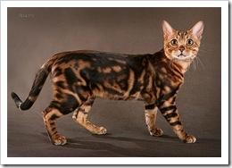bengal-cats-sherhan-01