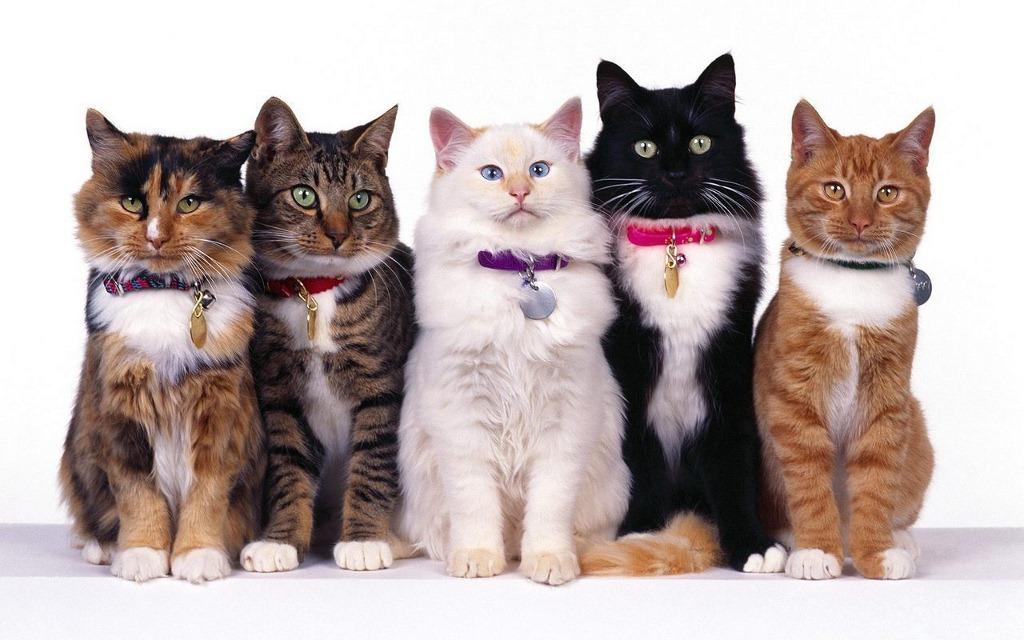 Вибір породи кішки (Світ тварин)